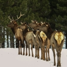 Large Bull elk leading his girls away from other intruders!