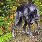 Very large Timber Wolf in Northern BC Canada. These Northern Wolves Are largest specimens of the Breed. Taken in early fall conditions.