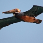 Cuba,  Brown Pelican, Great flying skills, and ever alert for a meal