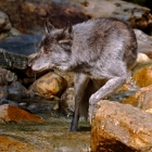 Timber Wolf in Rocky Mountain Stream