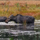 Family of Moose in lake at Autumn time