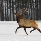 Bull Elk in full stride ,during a cold Canadian winter day!