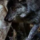 Dark phased Timber Wolf walking in Mountain Stream