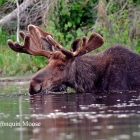 Algonquin Moose  April 