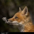 """ Innocent "" .. Red Fox Kit, recently emerged from its den Moira Ontario Canada"