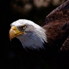 Bald Eagle,