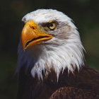 Bald Eagle - The adult Bald Eagle has a brown body with a white head and tail, and bright yellow irises, taloned feet, and a hooked beak; juveniles are completely brown except for the yellow feet. Males and females are identical in plumage coloration.