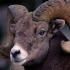 Male Big Horn Sheep ,
