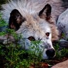 Wolves differ from domestic dogs in a more varied nature. Anatomically, wolves have a comparatively larger brain capacity. Larger paw size, yellow eyes, longer legs, and bigger teeth further distinguish adult wolves from other canids, especially dogs.