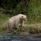 Spirit Bear Pondering the Moment in search of a Chub Salmon