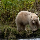 Spirit Bear searching the River for Salmon