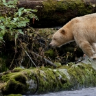The Kermode Bear is a Subspecies of the American Black Bear. 