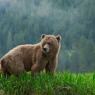 A Juvenile female Wild Grizzly Bear in the Khutzeymateen , with over 98,000 acres to roam and be herself !