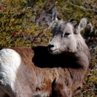 Immature Big Horn Sheep