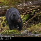 """ Scar Face ""..Seasoned Black Bear...Great Bear Rainforest Northern British Columbia Canada"