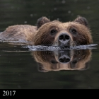 """ Treading Water "" ..Grizzly Bear swimming, Khutzeymateen Grizzly Bear Sanctuary Northern British Columbia Canada"