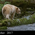 """ Spirit Hunter "" ...Kermode Bear or Spirit Bear of Great Bear Rainforest Northern British Columbia Canada"