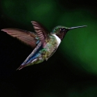 Ruby Throated Hummingbird hovering in mid-flight