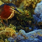 This Image of a Green Heron was awarded in the Annual,  Canadian Wildlife Photography of 2010. Sponsored by Canadian Geographic Magazine & Museum of Nature Ottawa. This is the second time Bill has been honoured in their Competitions.