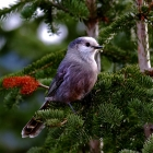 Algonquin Park resident,   Friendly,Inquisitive, Entertaining !  