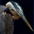 The largest North American heron, it is blue-gray overall, the neck is rusty-gray, with black and white streaking down the front; the head is paler, with a nearly white face, and a pair of black plumes running from just above the eye to the back of the head. The bill is dull yellowish, becoming orange briefly at the start of the breeding season.