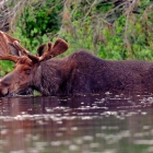 Bull Moose in Algonquin.  Getting some relief from the Flies. Replenishing necessary protein & sodium from long winter. 