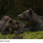""" Curious, Shy, Alert ""... Grizzly Bear Family in Great Bear Rainforest Northern British Columbia Canada .