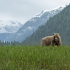 Grizzly Bear with Snow covered Mountains in Khutzeymateen.