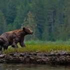 The Grizzly Bear seen here is enjoying his freedom in the Khutzeymateen!   The Khutzeymateen in Northern British Columbia Canada is the only Grizzly Bear Sanctuary in Canada , where these wild Grizzlies roam free without pressure of trophy hunting!