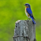 The bluebird is a symbol of happiness and optimism in numerous cultures around the world.