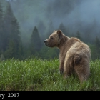 Grizzly Bear feeding on Sedge Grass in springtime, within Khutzeymateen Grizzly Bear Sanctuary in northern B.C. Canada .