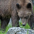 Khutzeymateen Grizzly Bear.