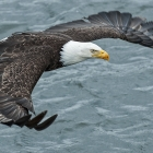 Bald Eagles are Amazing to see In-Flight